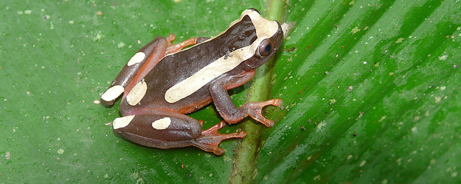 Common Clown Frog