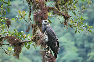 eagle-manu-amazon-tour-travel-peru