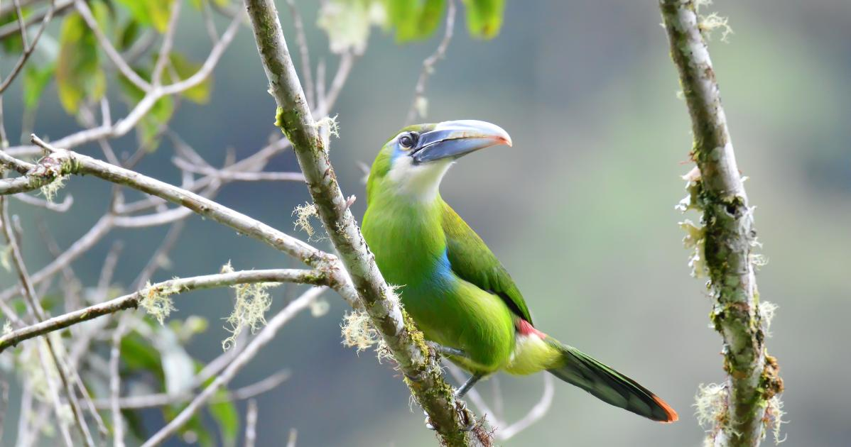 Blue Banded Toucanet
