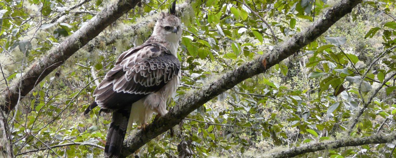 Black and Chestnut Eagle