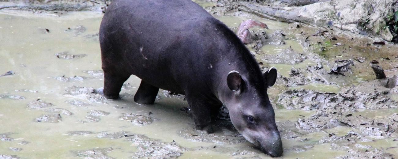 Brasilian Tapir