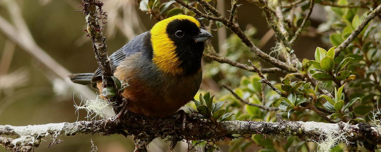Golden Collared Tanager