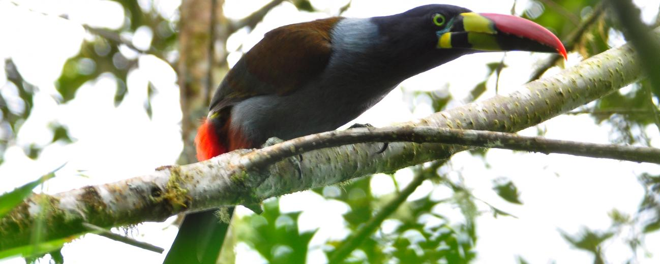 Gray Breasted Mountain Toucan