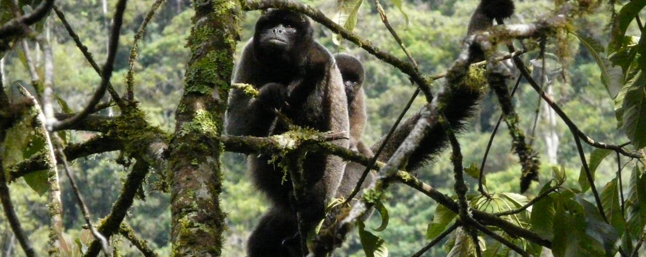 Gray Woolly Monkey