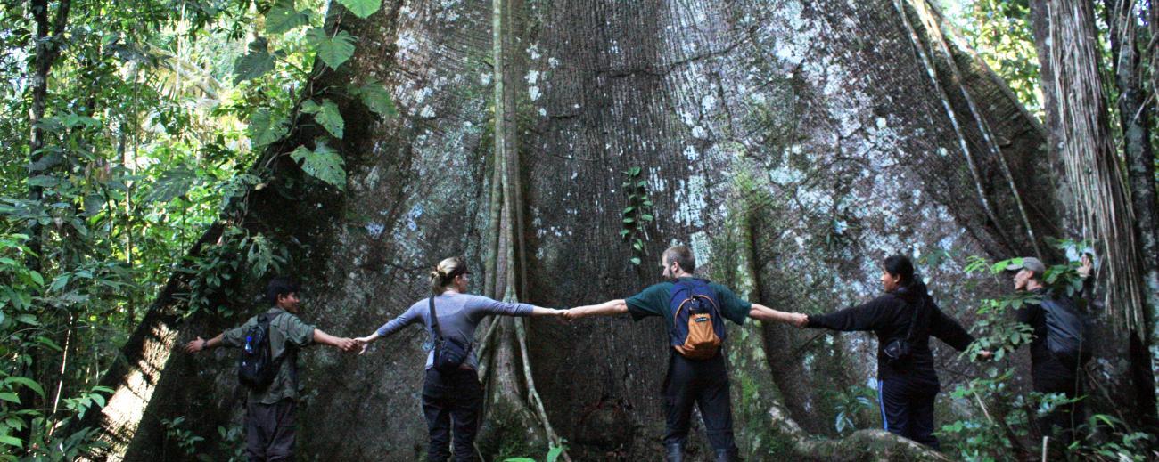 Kapok Tree