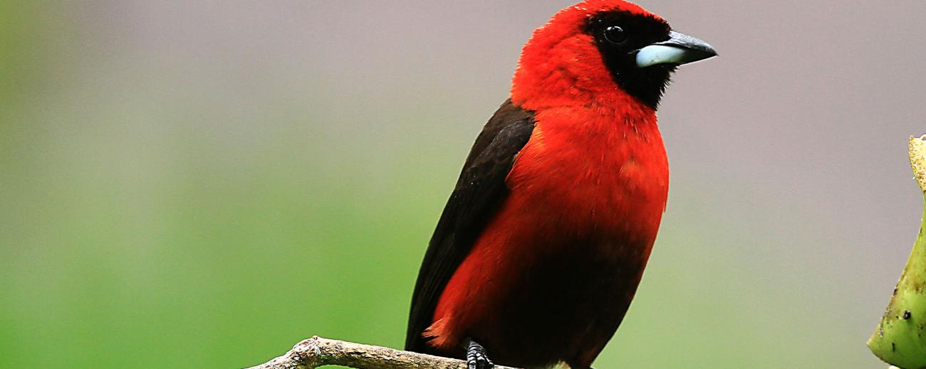 Masked Crimson Tanager