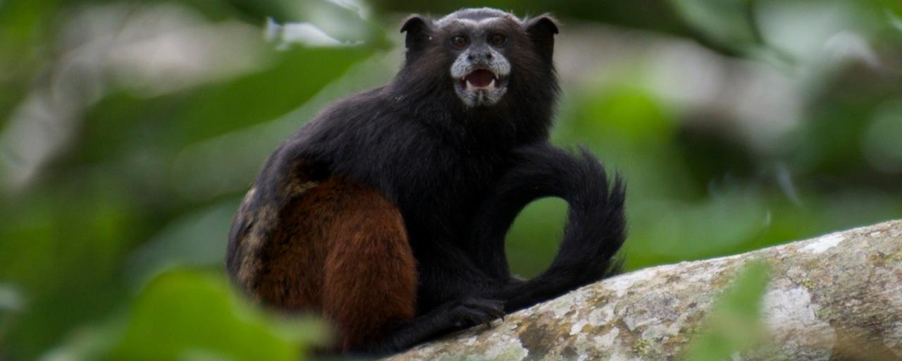 Saddle Back Tamarin Monkey
