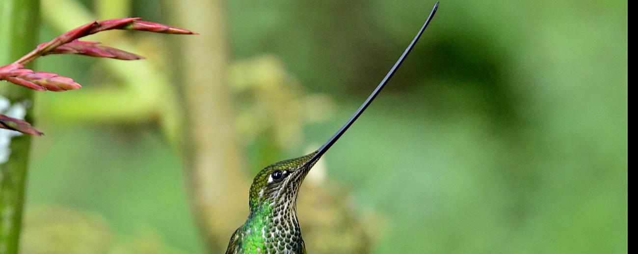 Sword Billed Hummingbird