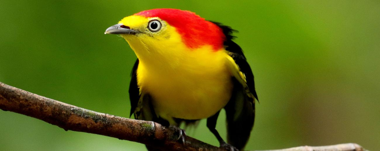Wire Tailed Manakin