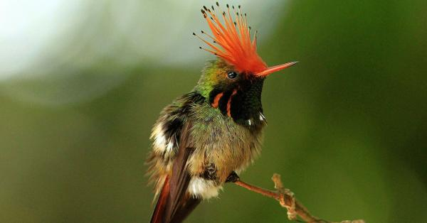 Rufous Crested Coquette