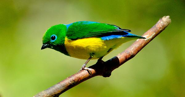 Blue Naped Chlorophonia Male