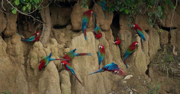 Blanquillo Macaw Clay Lick