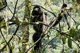 Common Woolly Monkey - Lagothrix Lagothricha