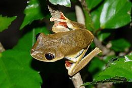 Common Clown Tree Frog - Hyla Leucophyllata
