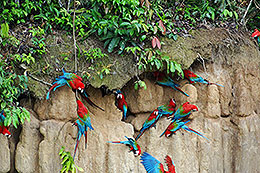 macaw-clay-lick-manu-amazon-tour-peru