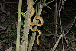 Amazon Tree Boa - Corallus Hortulanus