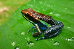 Manu Poison Frog - Epipedobates Macero