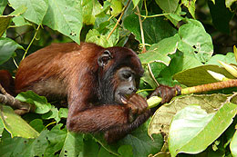 Howler monkey in Amazon of Manu